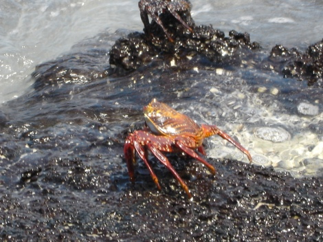 7a Sally Lightfoot Crab